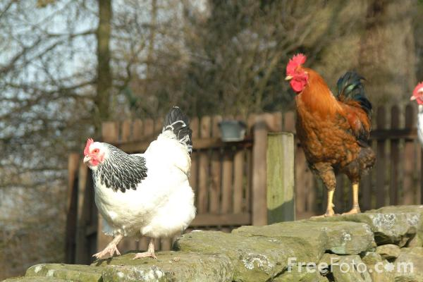 0chickens-polli-aviaria-freefoto.jpg