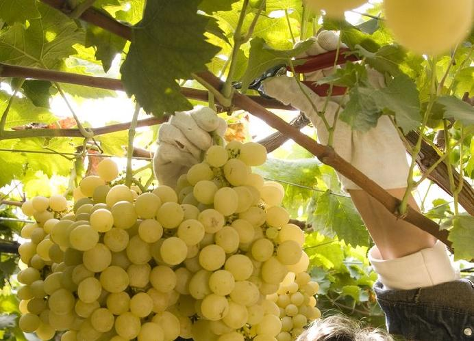 39 oro 39 di sicilia agronotizie vivaismo e sementi - Piante uva da tavola ...