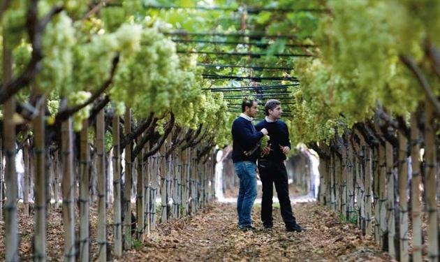 Magis per l 39 uva da tavola italiana agronotizie - Uva da tavola puglia ...