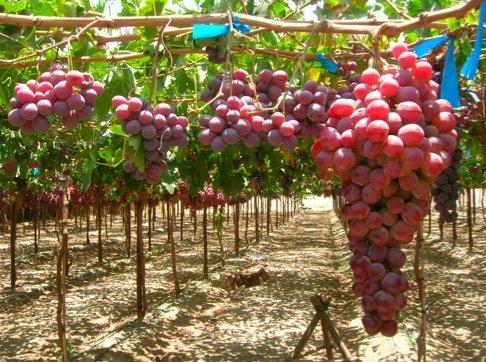 Uva da tavola l 39 esperienza di tradecorp agronotizie - Red globe uva da tavola ...