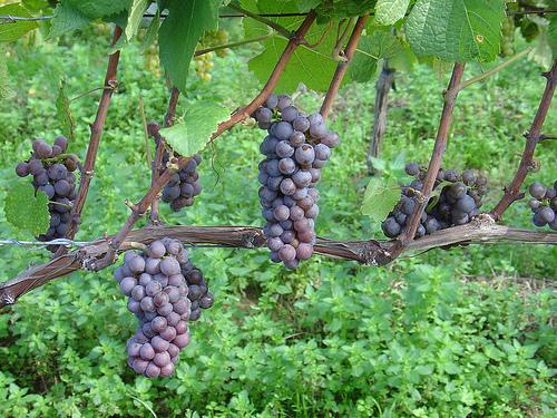 Viticoltura - grappoli d'uva - Fonte immagine: © ndrwfgg - Flickr