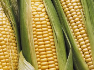 mais-belriose-maize.jpg
